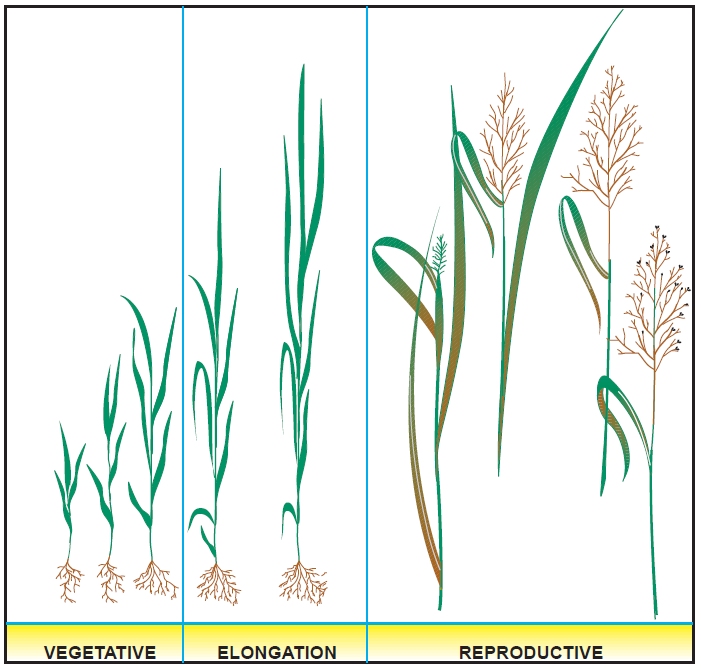 Figure 2. Developmental stages of grass growth. USDA Natural Resources Conservation Service