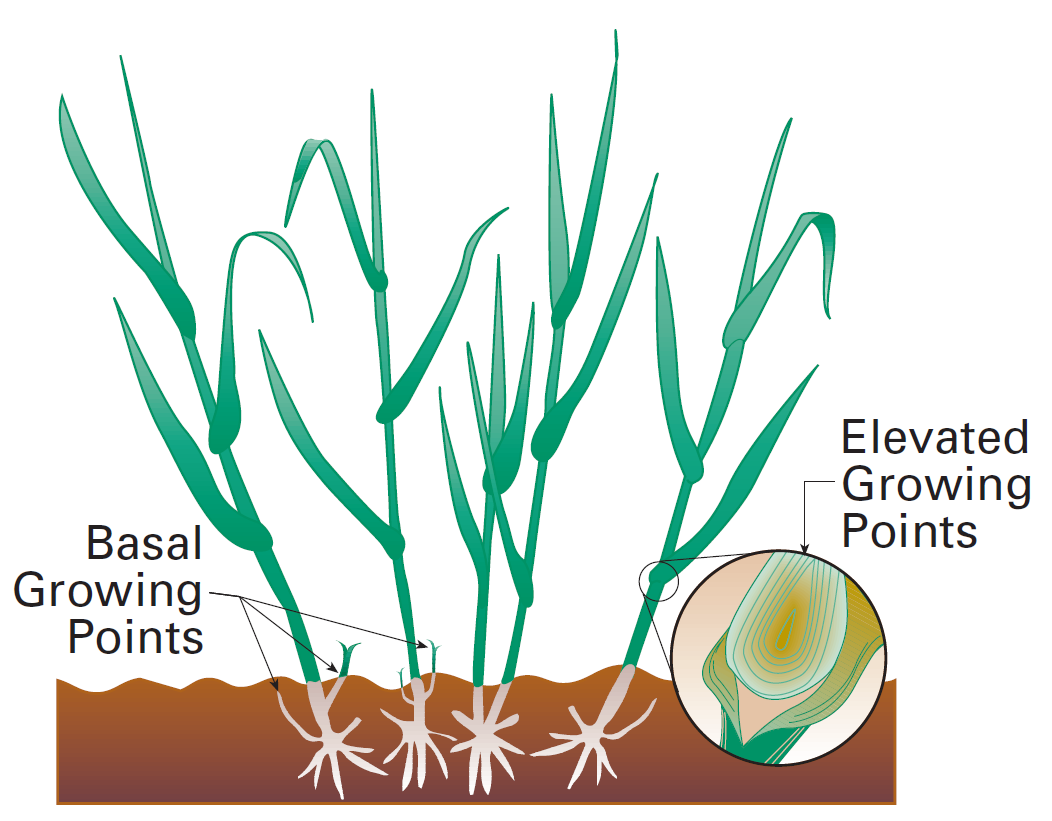 Figure 5. Elevated growing points are vulnerable to removal by grazing. USDA Natural Resources Conservation Service