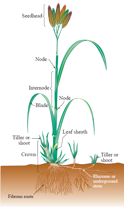 Figure 1. The parts of a grass plant. (Not all grasses have rhizomes.) USDA Natural Resources Conservation Service