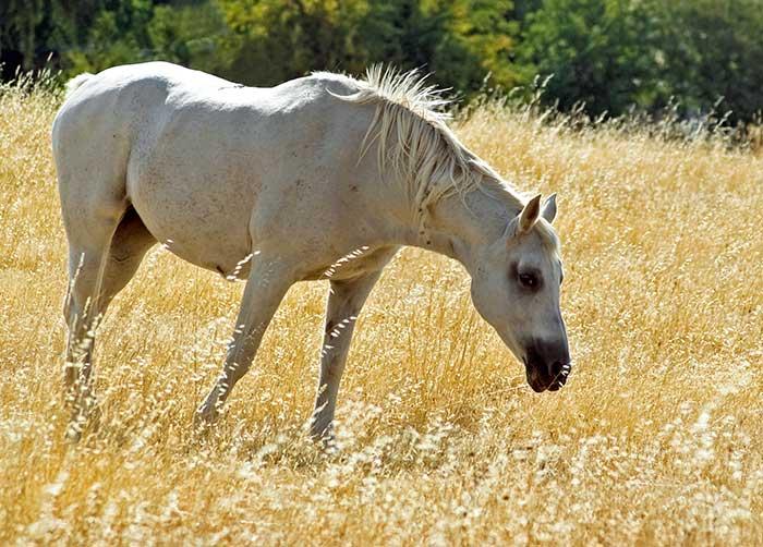 white_horse_golden_grass